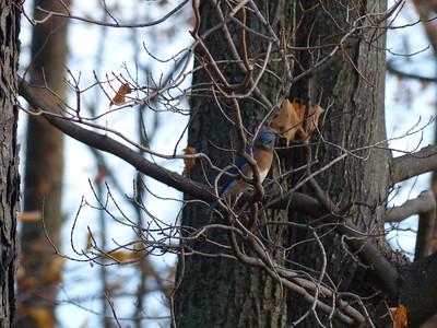 20121026 Eastern Bluebird