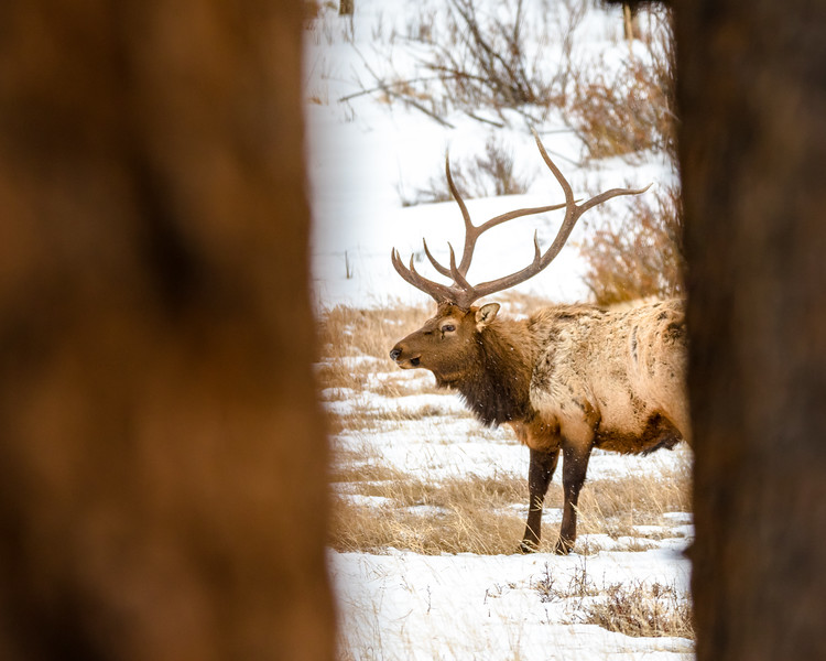 Elk in the Window