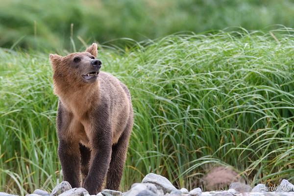 Alaska BearBoat 2018