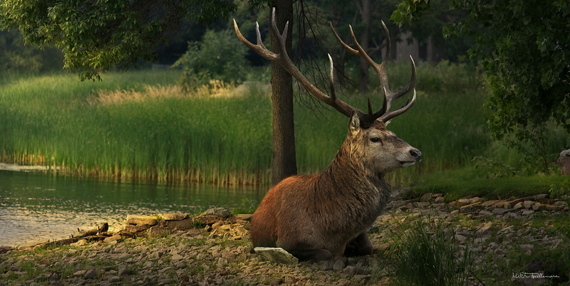 majestic-deer.jpg