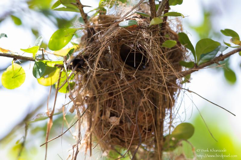 Bananaquit Nest - Little Tobago Island, Tobago