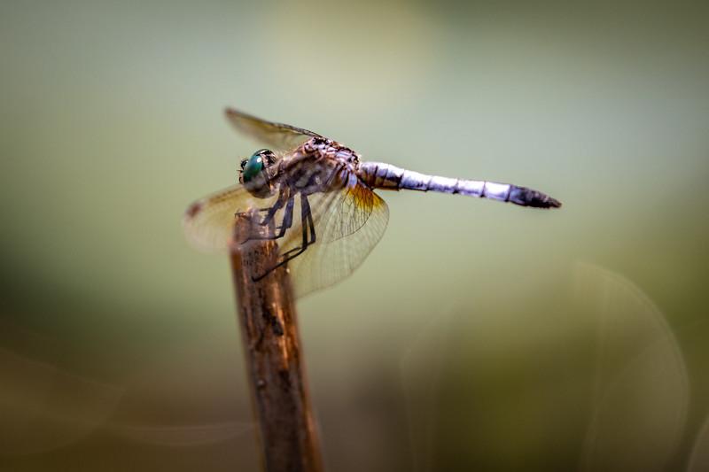 Chalfant_Kelly_L_Dragonfly1_WWKnight_01.jpg