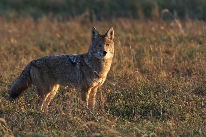 Coyote - 1