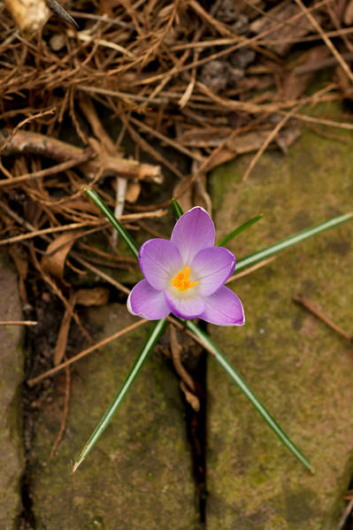 Single Crocus Flower