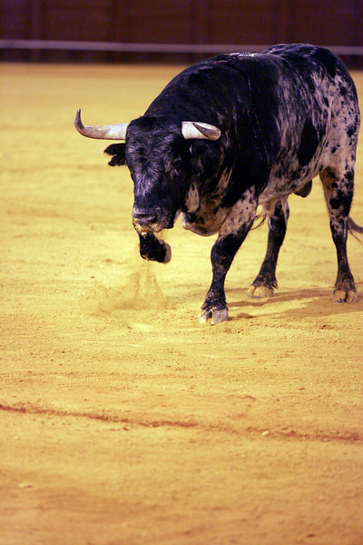 Fighting bull. Bullfight at Real Maestranza bullring, Seville, Spain, 15 August 2006.