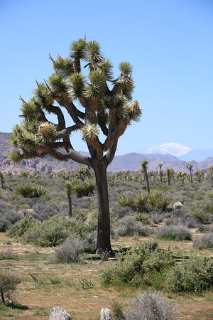 Joshua Tree Nat. Park. California