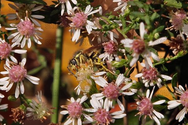 Worker Yellowjacket (Vespula maculifrons).