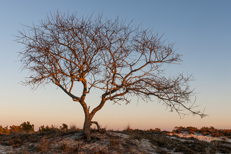 Barrier Island Tree - Assateague Island Sunset