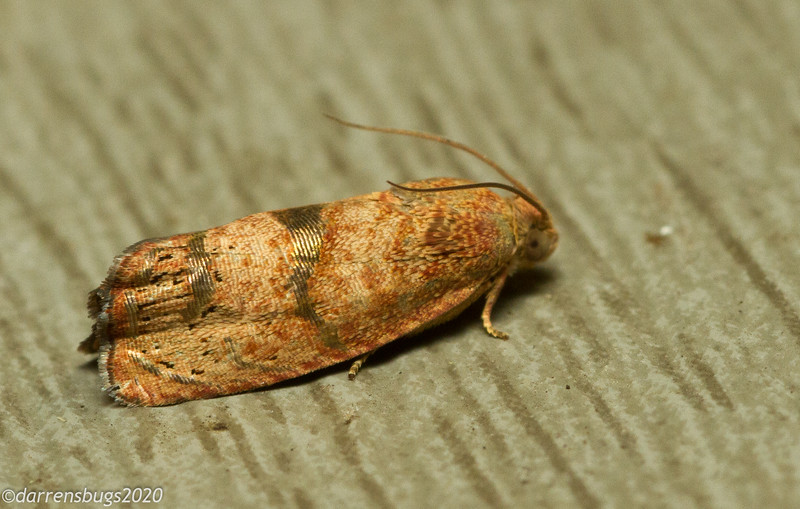 Gold-banded moth, possibly Tortricidae, from my backyard in Iowa.