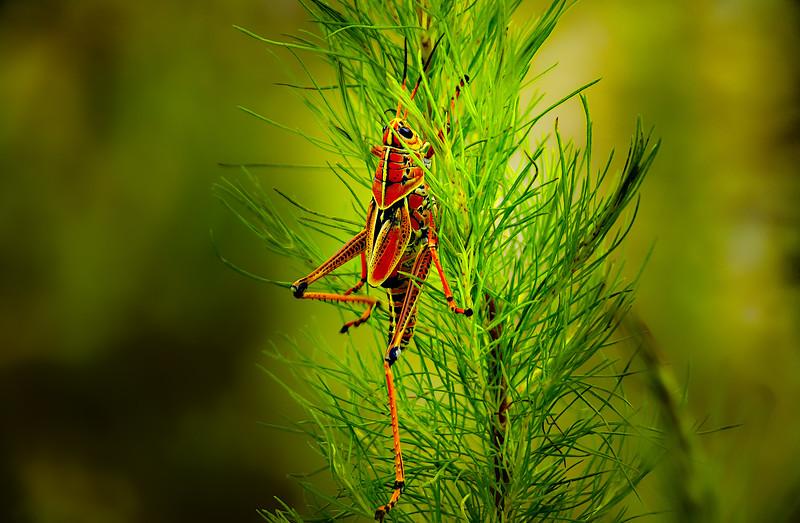 Grasshoppers 19.jpg