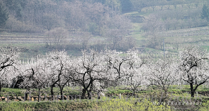 Apricot Season