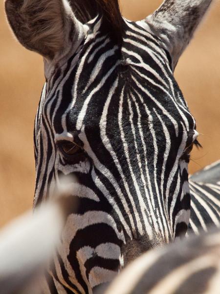 Zebra i Ngorongoro (Foto: Ståle)