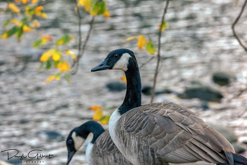 Fall Canadian Goose
