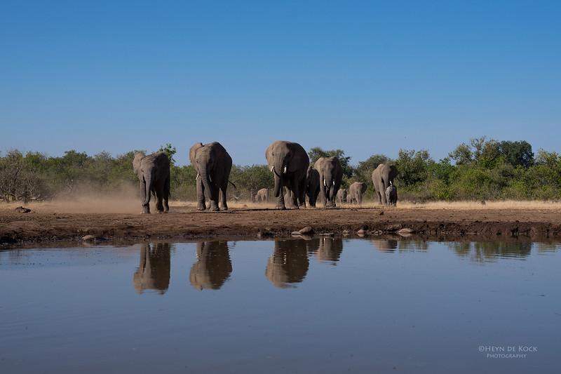 African Elephant, Mashatu GR, Botswana, May 2017-16.jpg