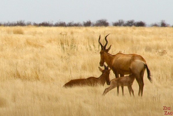 Best photo Namibia: Red hartebeest, Etosha National Park