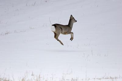 Jumping roebuck