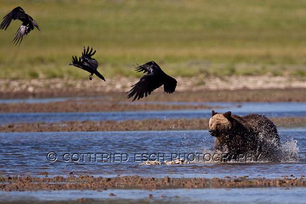 Wildlife Yellowstone NP