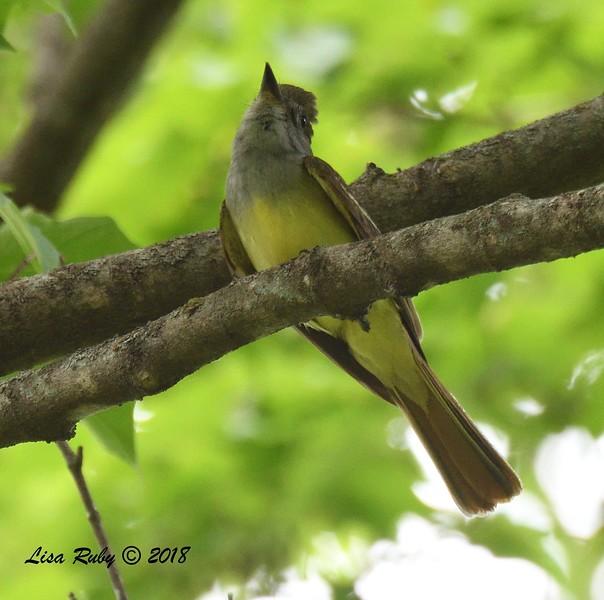 Great-crested Flycatcher - 6/25/2018 - Decorah, Iowa, trail by Palisades Inn