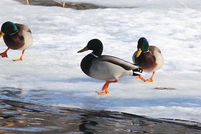 Mallards & Waterfowl — Vadkacsák és más vízimadarak
