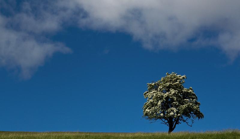 Hawthorn on a Hill