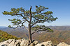Lone tree on the edge of rocky cliff over looking mountain range during fall leaf change over.