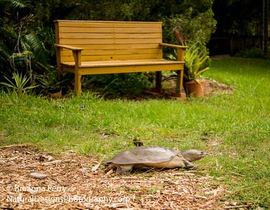 Florida Softshell