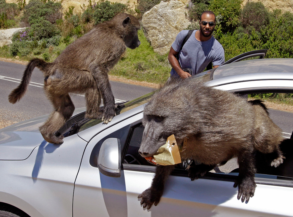 Description of . Tourists Alexandre Casias, center back, and Emilie Vachon, not in photo, from Montreal in Canada, have their car raided by Baboons, at Millers Point on the outskirts of Cape Town, South Africa, Wednesday, Oct 24, 2012.   (AP Photo/Schalk van Zuydam)