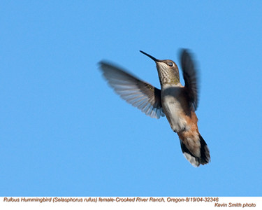 RufousHummingbirdF32346.jpg
