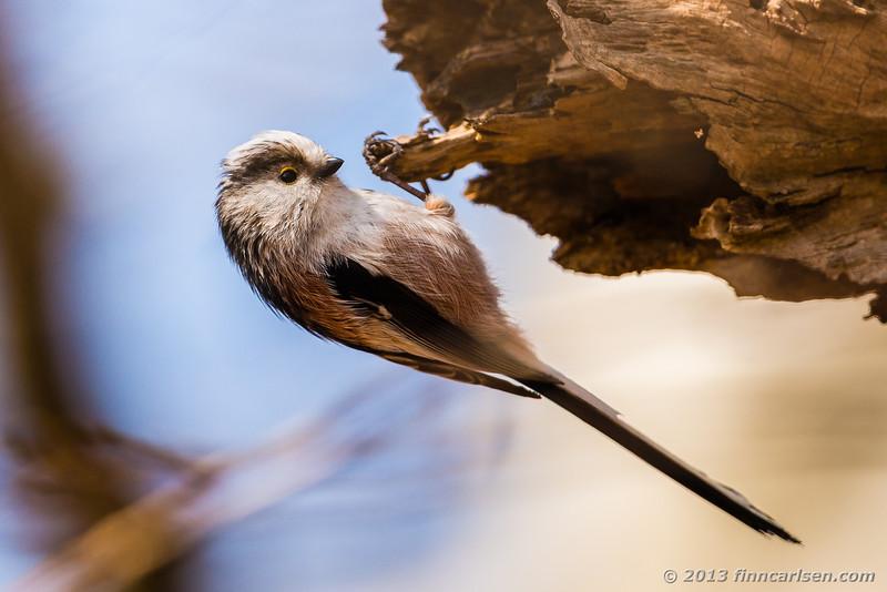 Halemejse, sydlig race (Long-tailed Tit - Aegithalos caudatus)