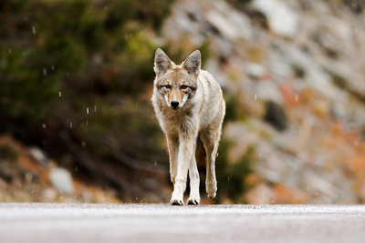 Coyote prowling the road in the rain.  Glacier NP Montana.