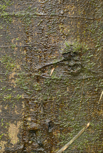 Camouflage - Bark Mantis- can you spot it ?