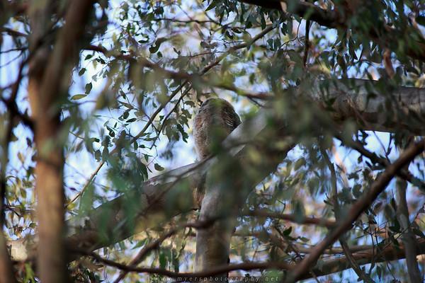 Owls Huntington Beach Centrail Park 2016