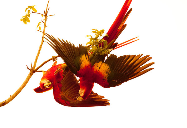 Parrots, Macaws and Parakeets