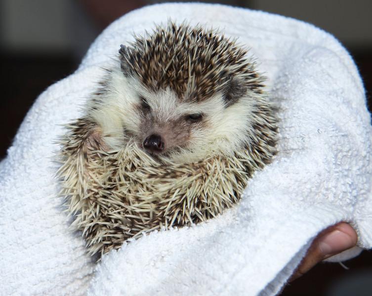 Hedgehog at 1 month