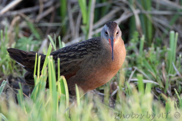 2019-05-01 Riverlands Migratory Bird Sanctuary