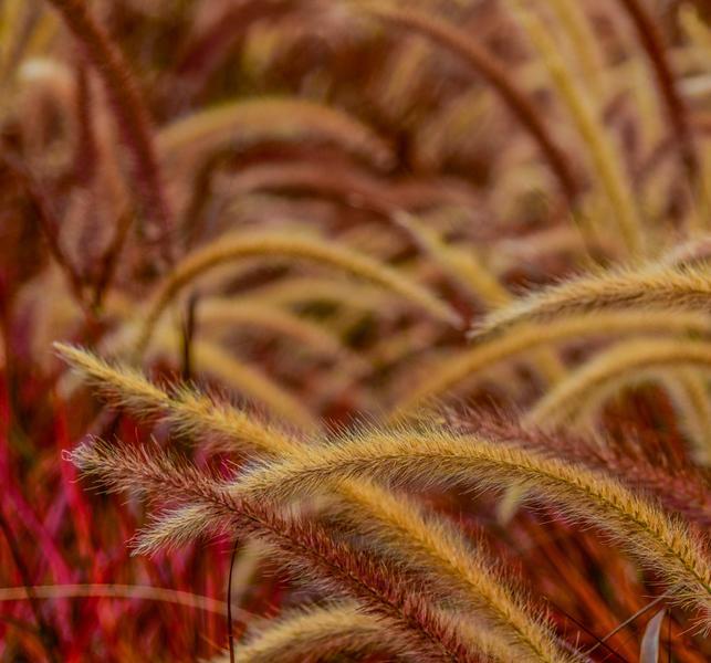 LILY GRASS KOI   18