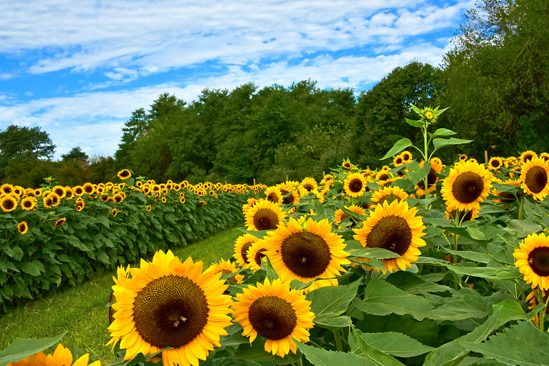 Sunflowers - Walking the Gold