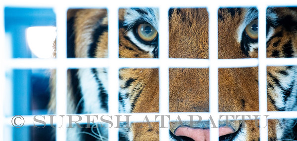 Rescued circus tigers arrive at MIA