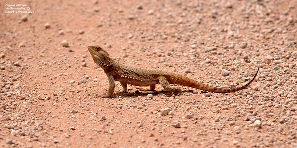 Pogona vitticeps (Inland Bearded Dragon)
