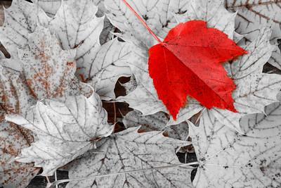 Red leaf - 2015