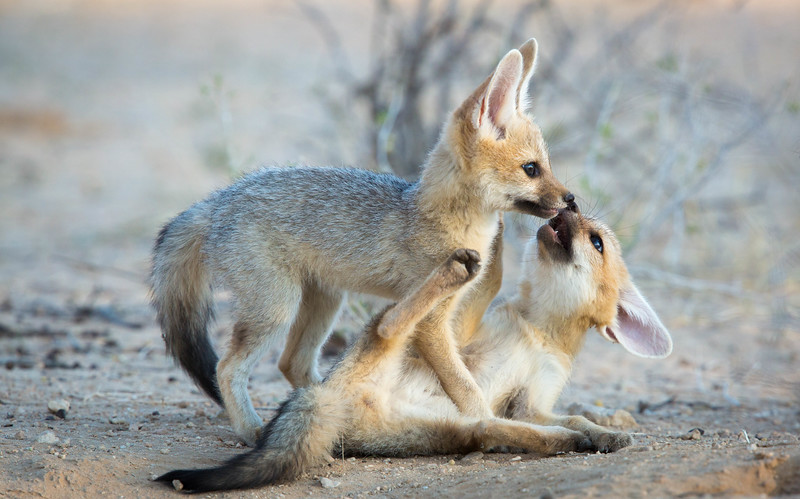 Cape Fox cubs play-fighting, Kalahari Desert