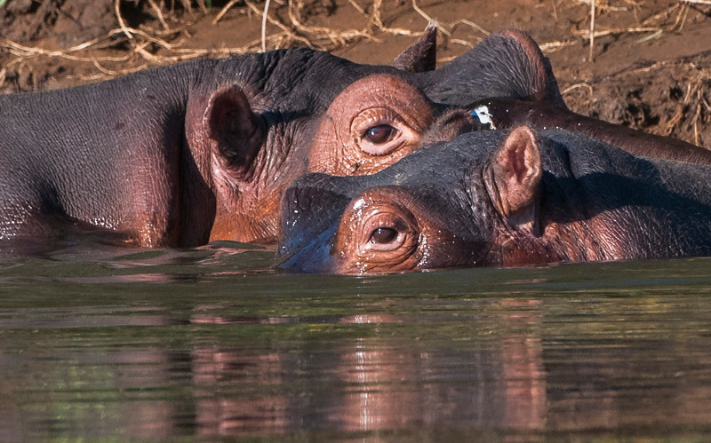 Hippos-17.jpg