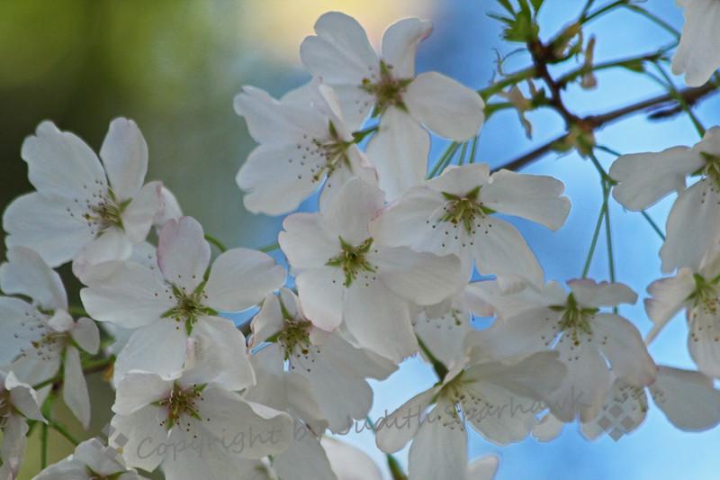Cherry Blossom Time ~
