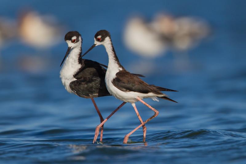 Black-necked Stilt - mating sequence - Radio Road, Redwood City, CA, USA
