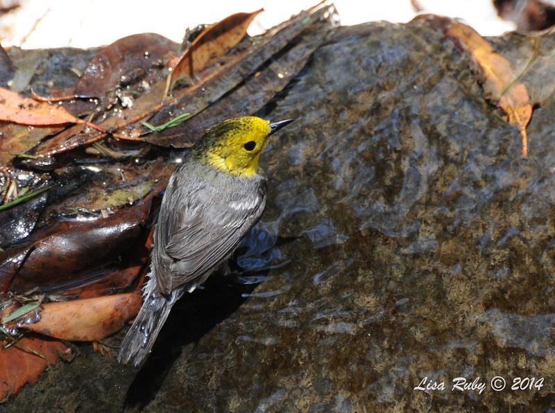 Hermit Warbler bathing - 5/26/2014 - Batiquitos Lagoon