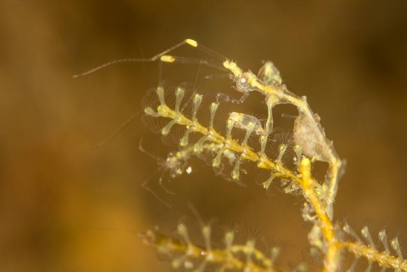 Skeleton Shrimp (with eggs), grows to 1-3 cm