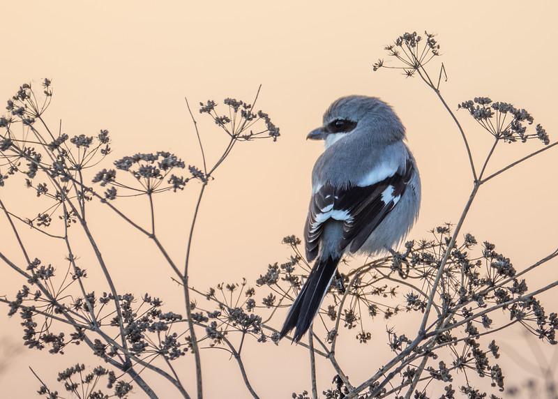 Loggerhead Shrike, Willows, CA