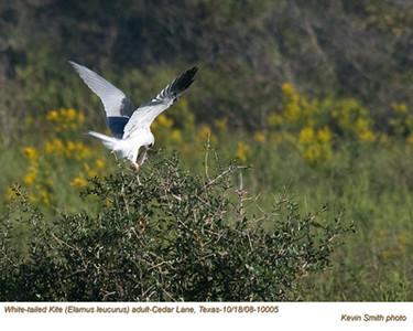 White-tailedKiteA10005.jpg