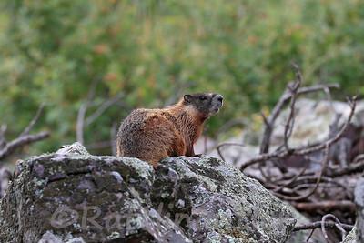Golden Marmot