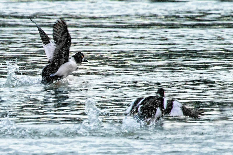 A winter guest - Goldeneye Ducks, down to the Danube from Scandinavia.